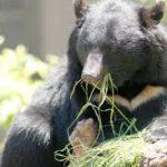 徒然5 熊の恐るべき戦闘力と恐怖・事件・その対策についての考察 ツキノワグマ、ヒグマ