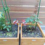 ベランダ園芸 ミニトマト「純あま」「ガンバ」の成長の記録