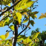 ベランダ園芸・家庭菜園 ブルーベリーやスモモ(プラム)、果樹などの栽培記録2020年~【庭園芸】